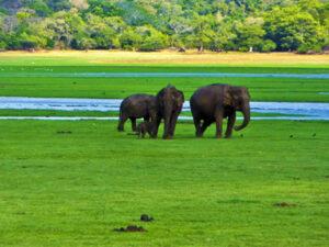 minneriya-national-park-haya-lanka-srilanka
