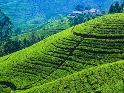 tea-estate-kandy-haya-lanka