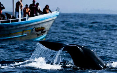 whale-watching-in-sri-lanka-hayalanka